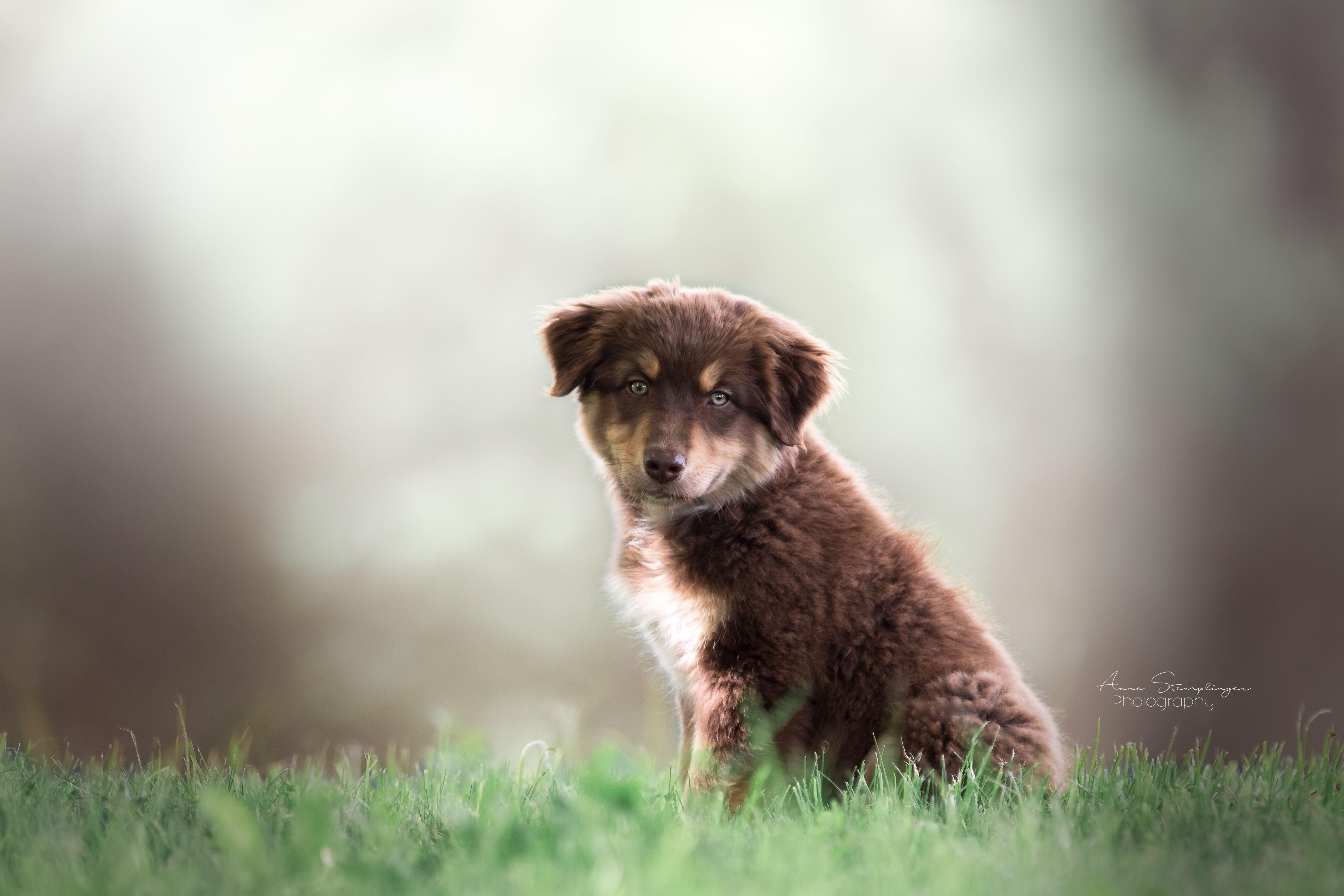 Australien Sheperd Welpe Hundefotografie Tierfotografie Bayern Niederbayern Landshut Hundefotografie