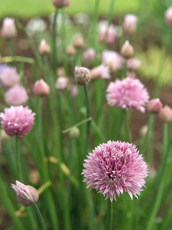 Add Chives To Your Herb Garden For Year After Year Flavor Perennial Herbs Growing Chives Chive Flower