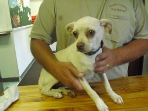 9161 Is An Adoptable Chihuahua Dog In Portsmouth Oh This