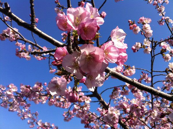 Beat The Crowds Where Else To See Blooms Around Washington Washingtonian Dc Ornamental Cherry Cherry Blossom Cherry Blossom Tree