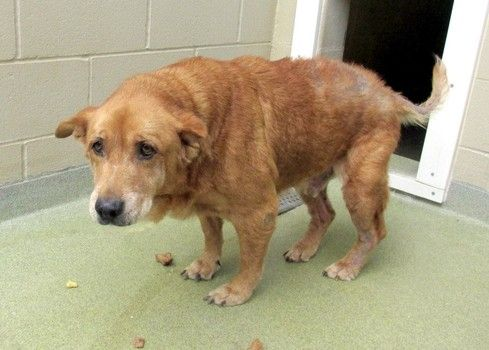 Pfeizer is a 16 year old Neutered male Golden Retriever mix that was surrendered by his owners on 7/17 because they couldn't keep him anymor...