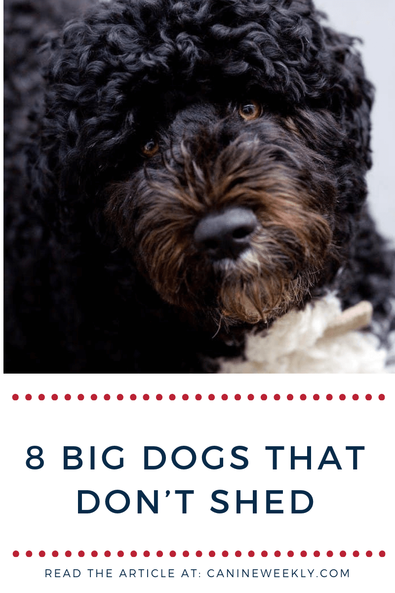 13 Big Dogs That Don T Shed Large Non Shedding Dog Breeds Non Shedding Dog Breeds Big Dog Breeds Big Dogs