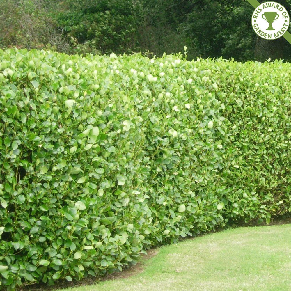 Perfect griselinia hedge garden pinterest for Garden design ideas with hedges