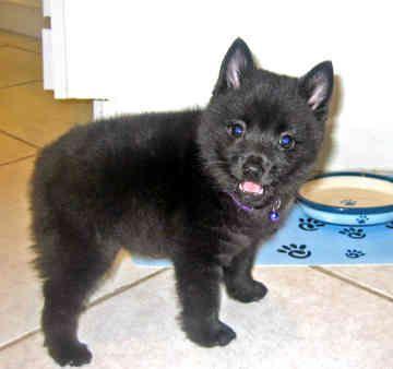 Schipperke Puppies Pictures