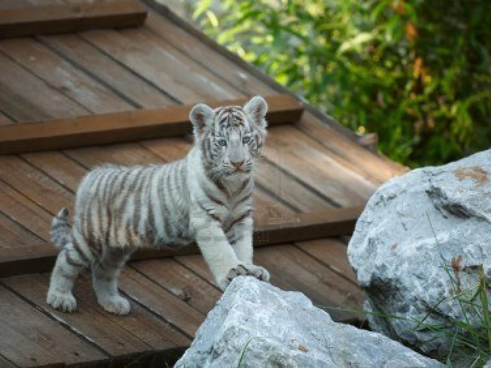Baby White Tigers Wallpapers 2013 Wallpaper Tiger Wallpaper Pet Tiger Cubs Wallpaper