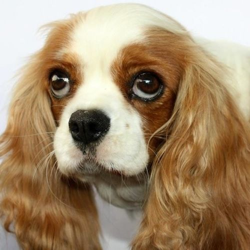 Cavalier King Charles Spaniel Puppies For Sale In Brisbane Qld Spaniel Puppies For Sale King Charles Cavalier Spaniel Puppy King Charles Spaniel