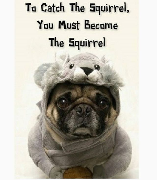 Good Morning Anyone Have A Squirrel Chaser Pugs Funny Cute Pugs Pug Memes