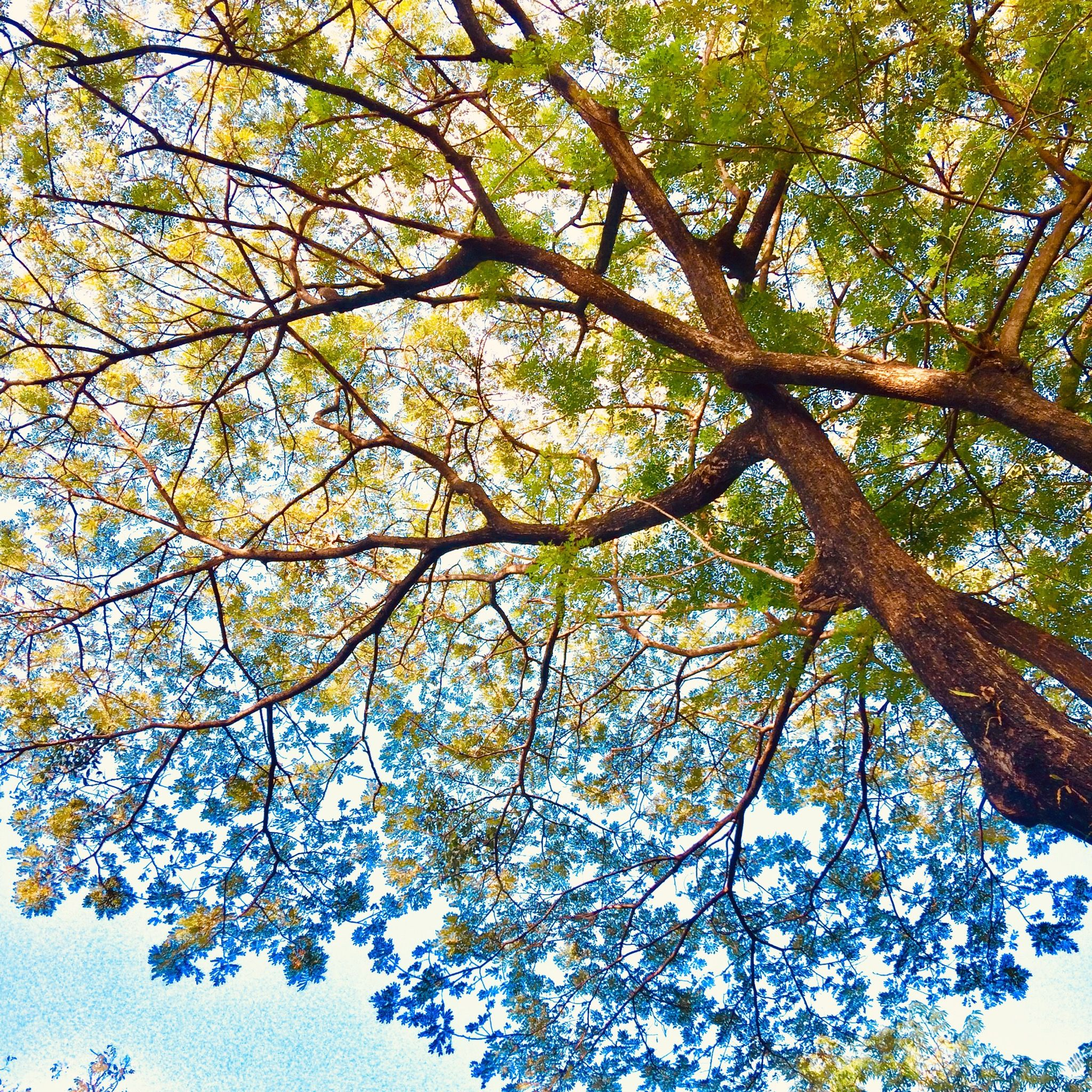 Pohon Trembesi Pohon Taman