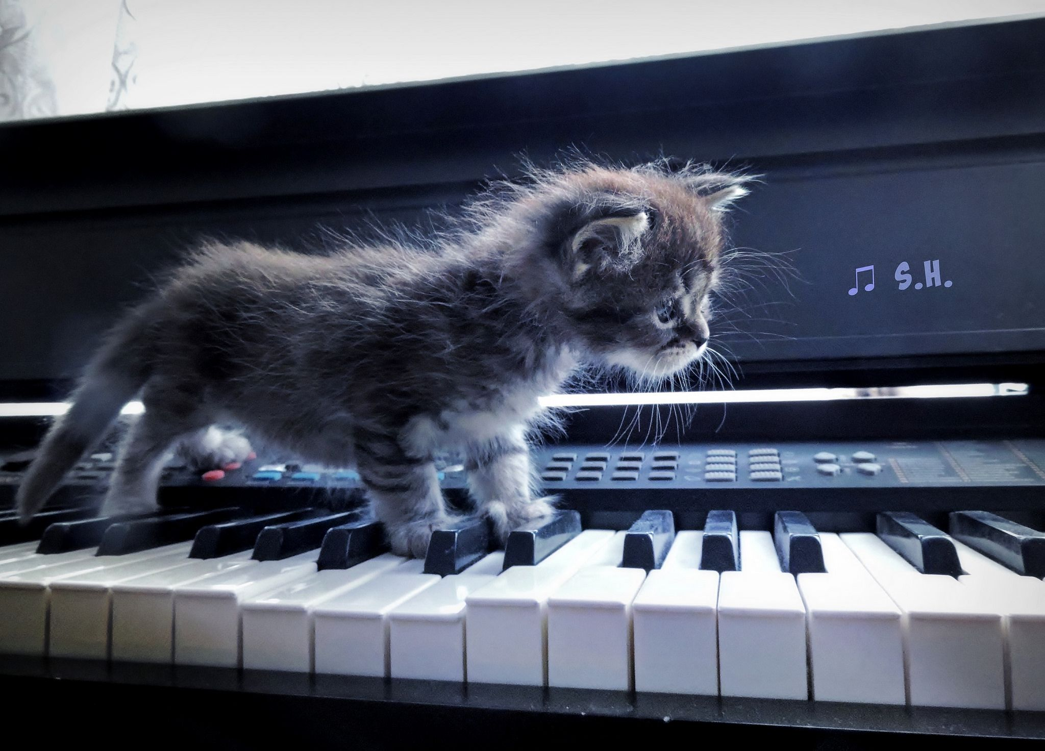 Whiskers On Kitten And Kitten On Keyboard Chat Musique