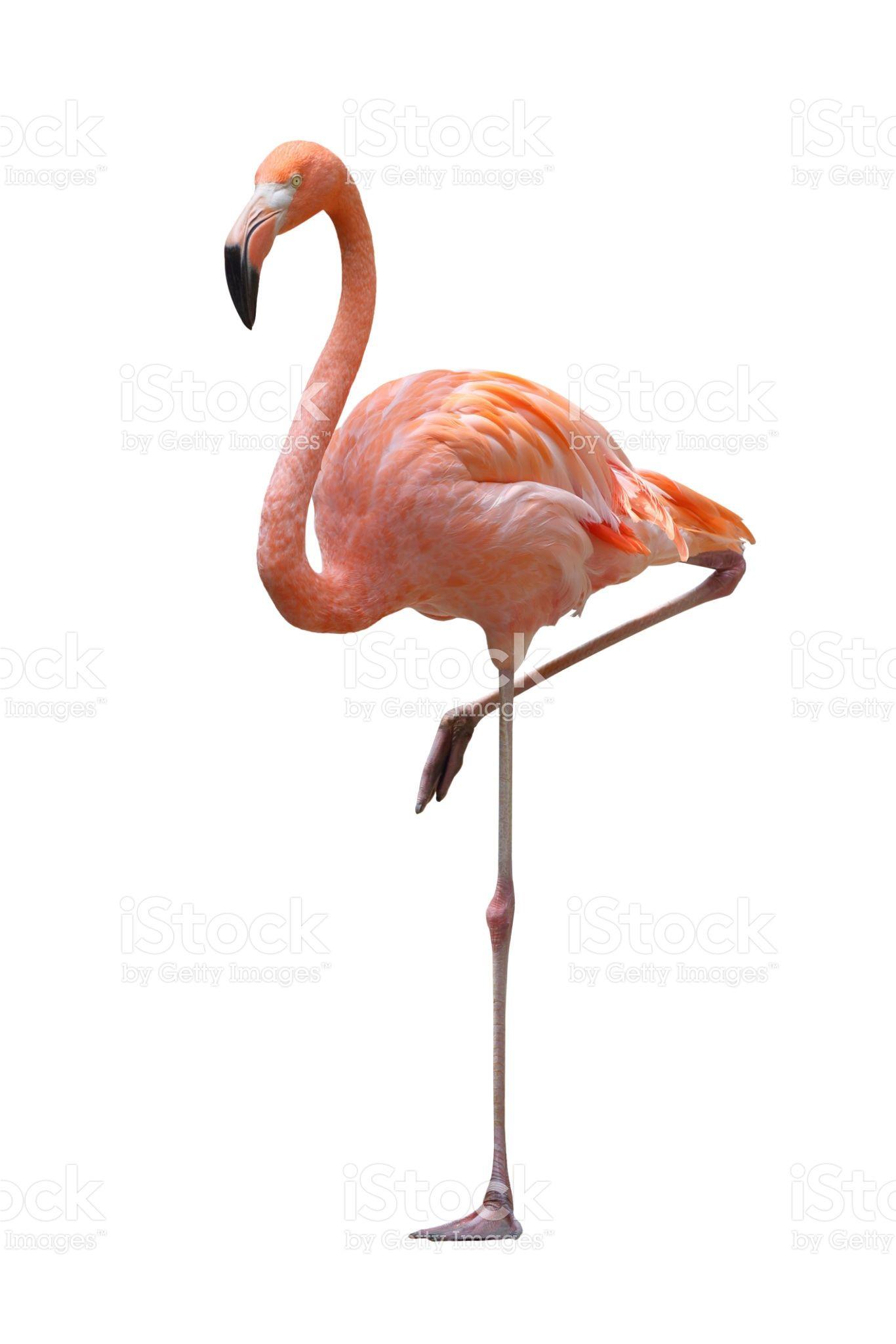 Flamingo on a white background.   Flamingo