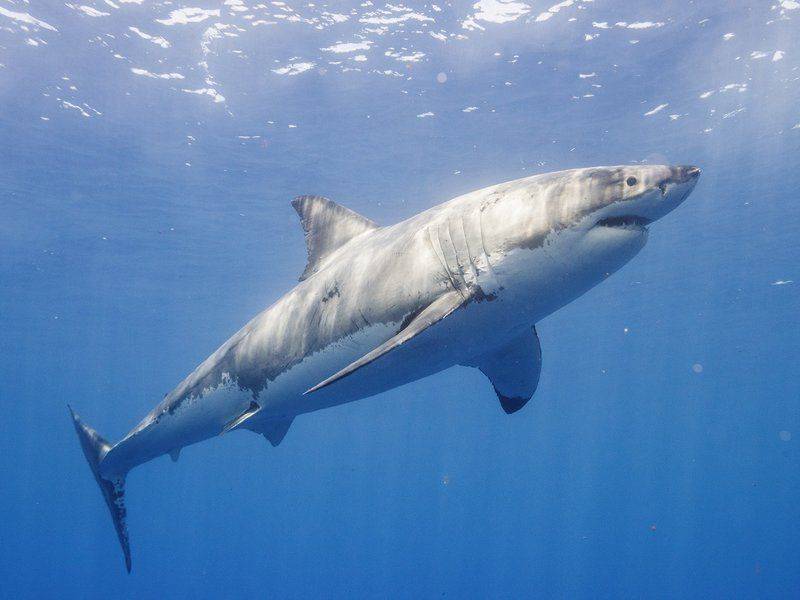 Friendly Great White Shark Returns To The Outer Banks Great White Shark Shark Whale