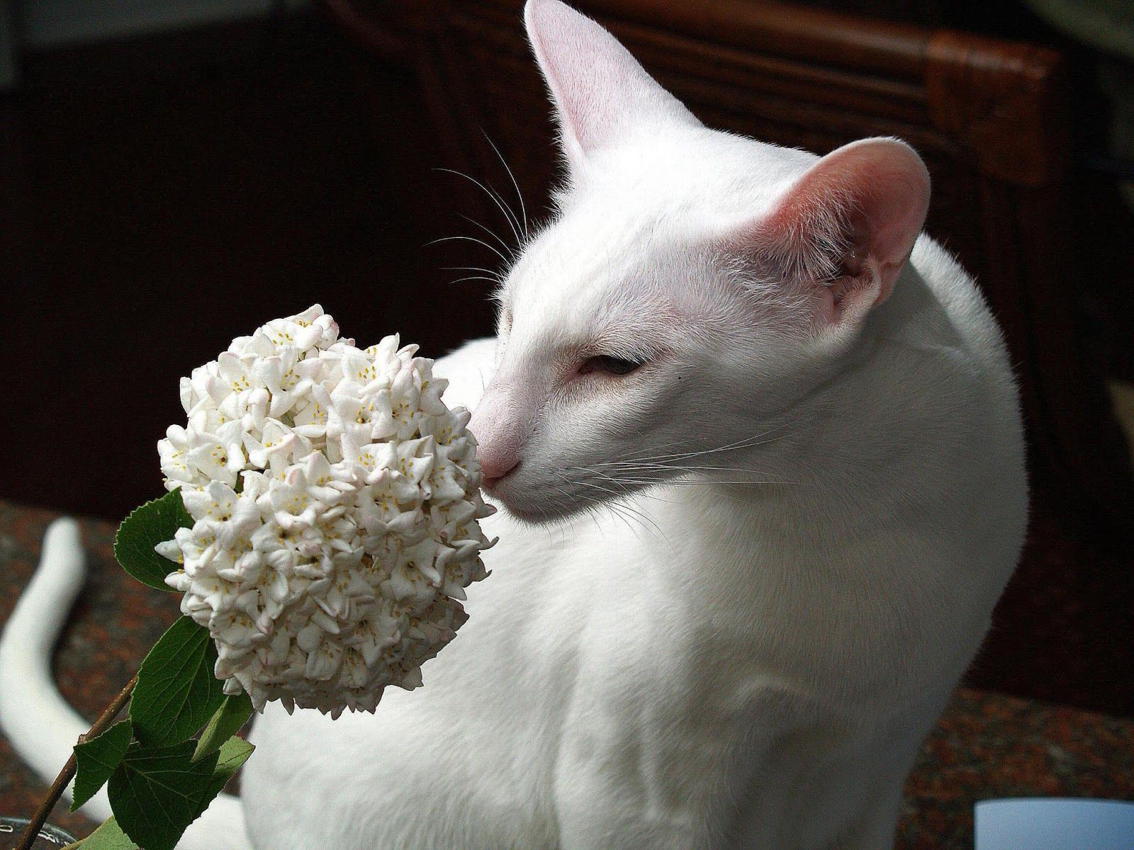 20 Most Affectionate Cat Breeds in The World Oriental