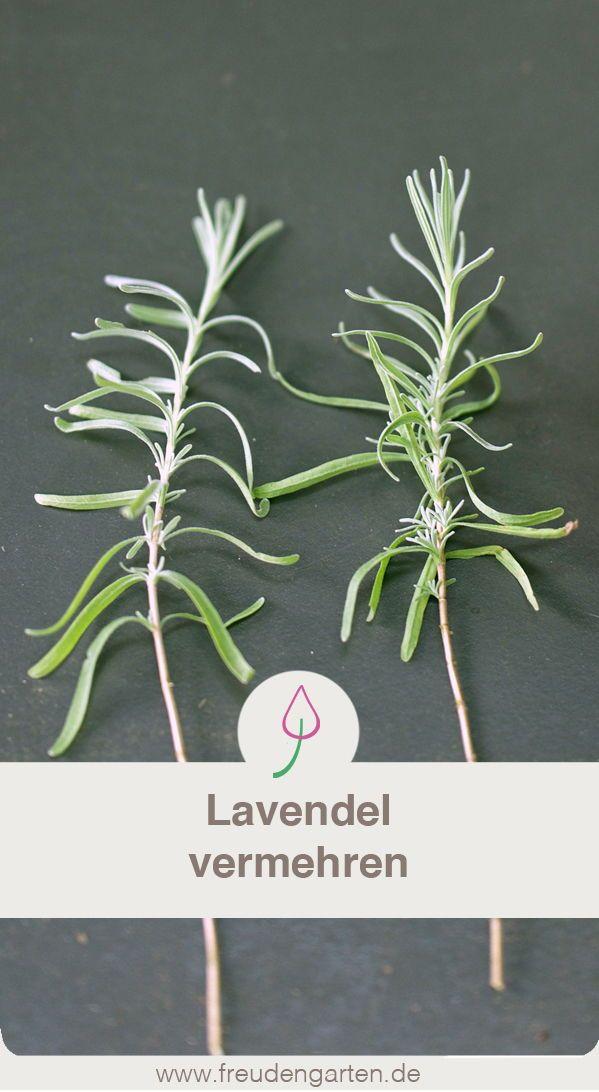 lavendel im garten ganz leicht vermehren jetzt auf freudengarten lesen garten garden plants