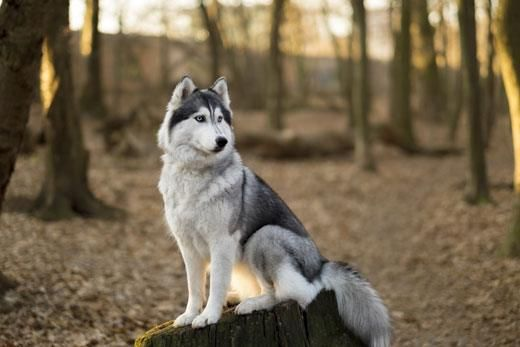 How Long Do Huskies Live What You Need To Know With Images