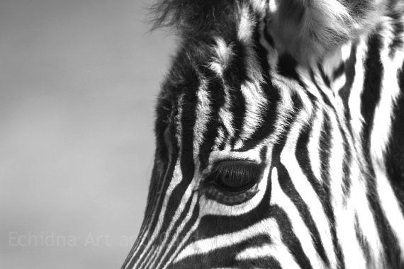 Sale zebra photograph black and white animal by echidnaartandcards