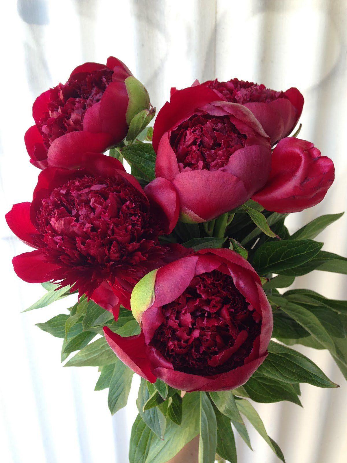 цветы пионы бордовые фото думаю, делаю что