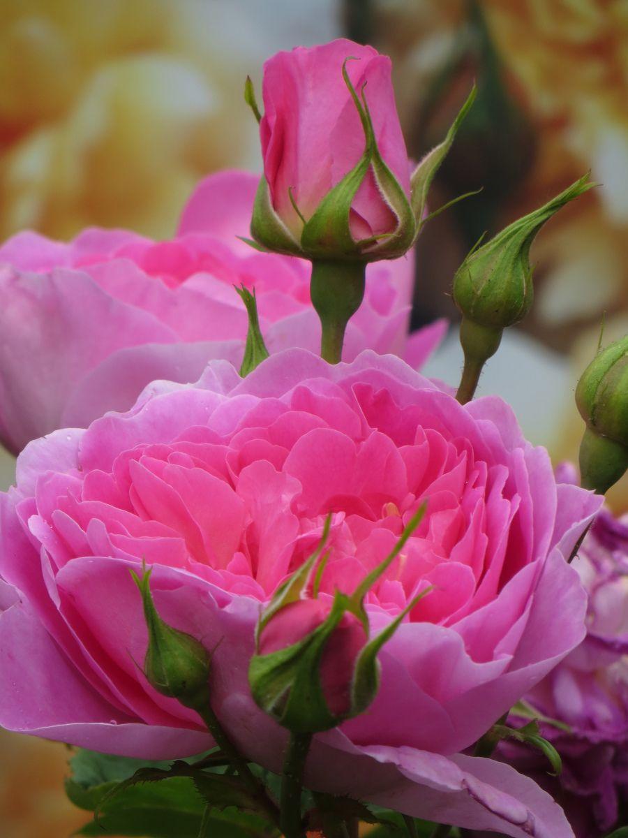 Rose 'Josephine Hooker'