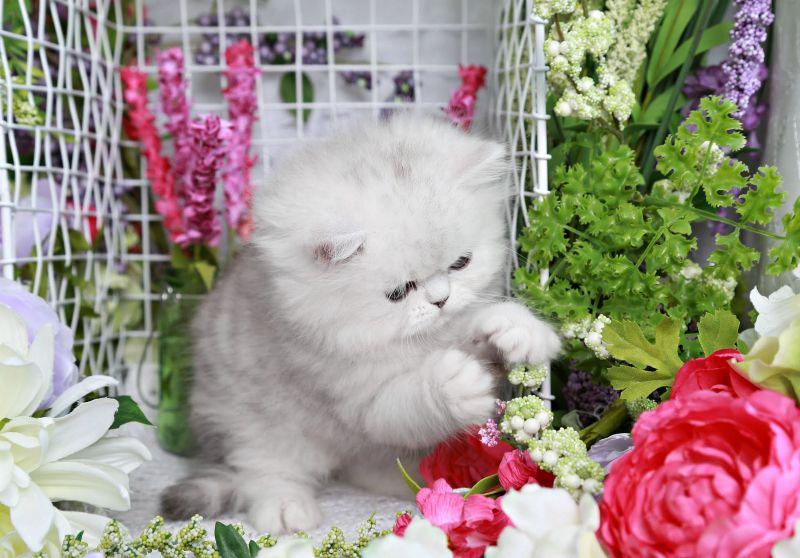 Cinderella Silver Chinchilla Persian Kitten For Sale Persian Kittens For Sale Persian Kittens Kittens