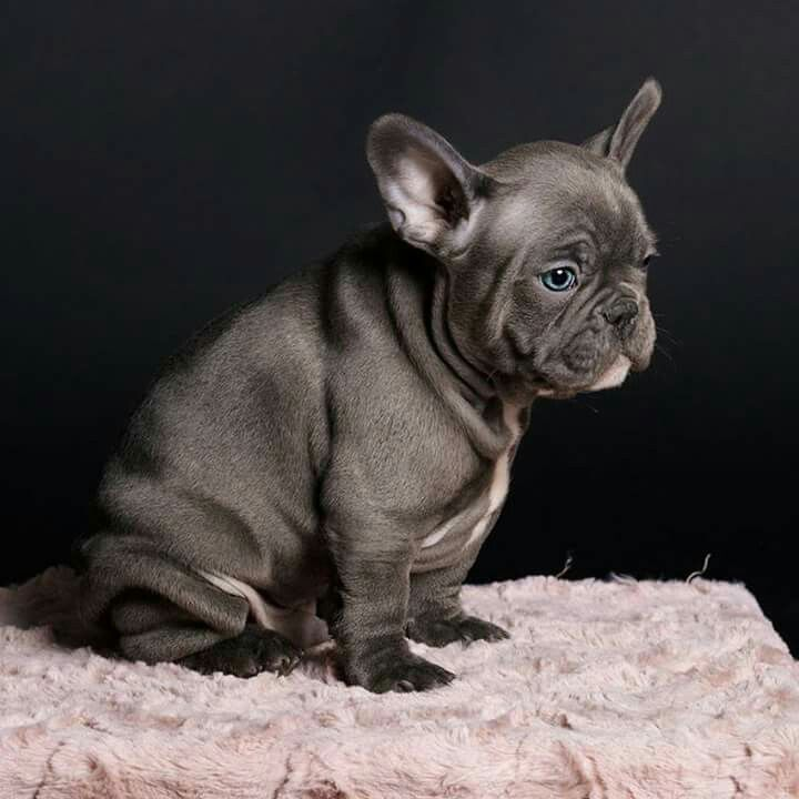 Pin by 🌹Maddie🌹 on Animals French bulldog breed, French