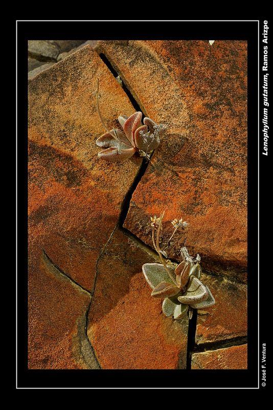 Lenophyllum gutatum | por Sphenodiscus