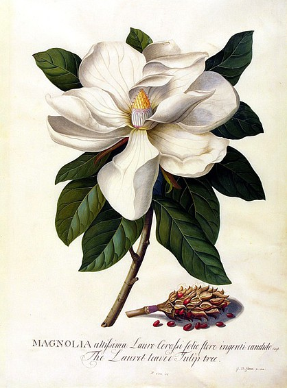 Carl Linnaeus, Systema Naturae, sexual system, Georg Dionysius Ehret, Mrs Morgan's Florilegium, Natalie Waddell,