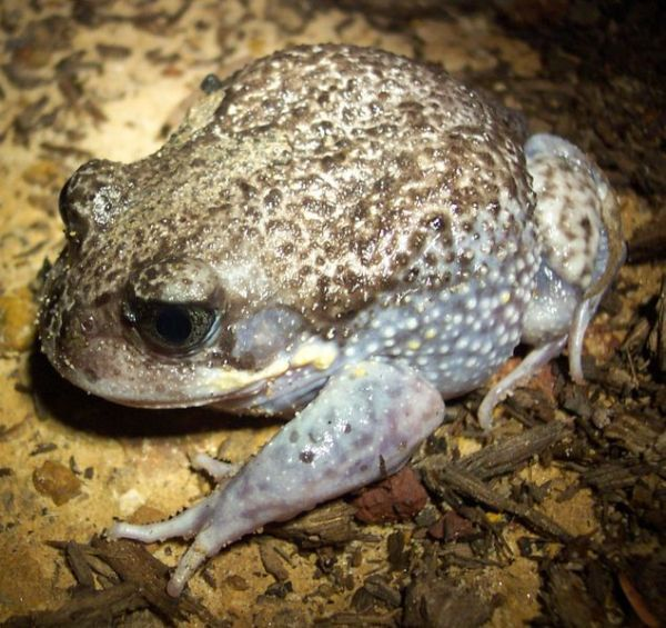 Sydney+Australia+Animals | male Heleioporus australiacus, from the Northern Sydney region.