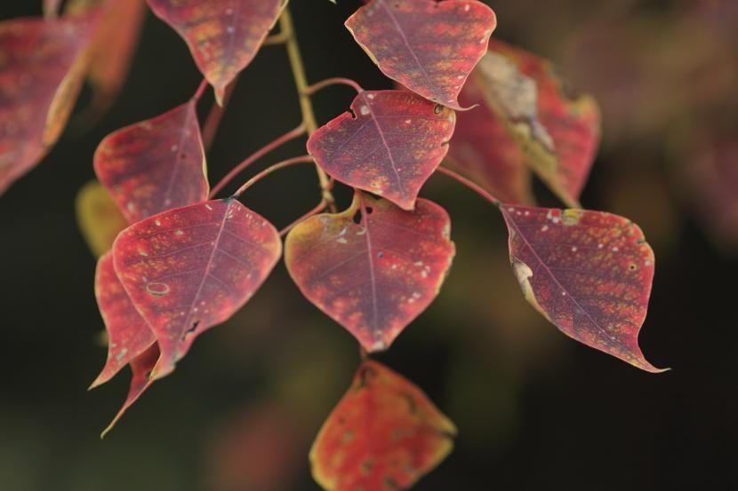 Conoce al Árbol del sebo, y a sus hojas multicolor