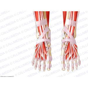 Anterior view - Foot - Superficial muscles - Men