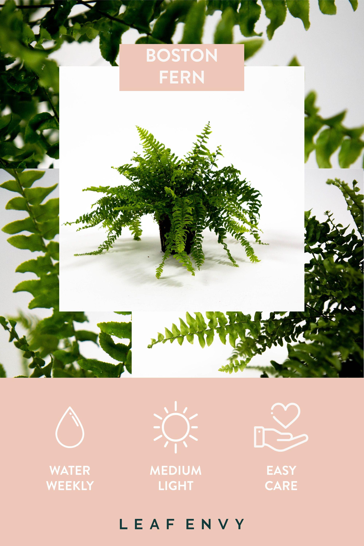 Boston fern in 2020 plant care houseplant boston ferns