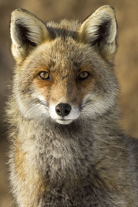 Red Fox by Fabrizio Polinelli on 500px
