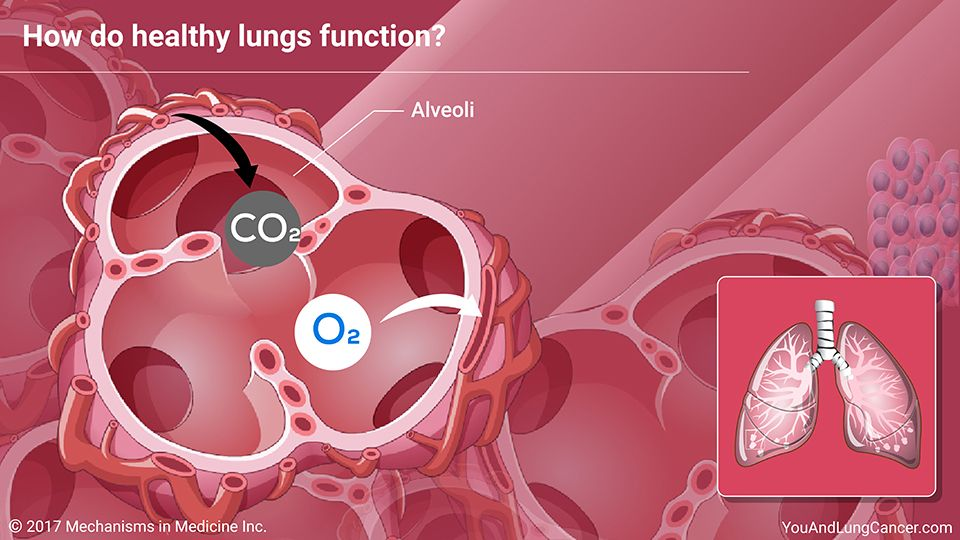 How Do Healthy Lungs Function When You Inhale The Lungs Transfer