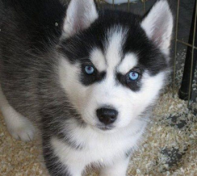 Alaskan Husky Puppies With Blue Eyes Zoe Fans Blog Siberian