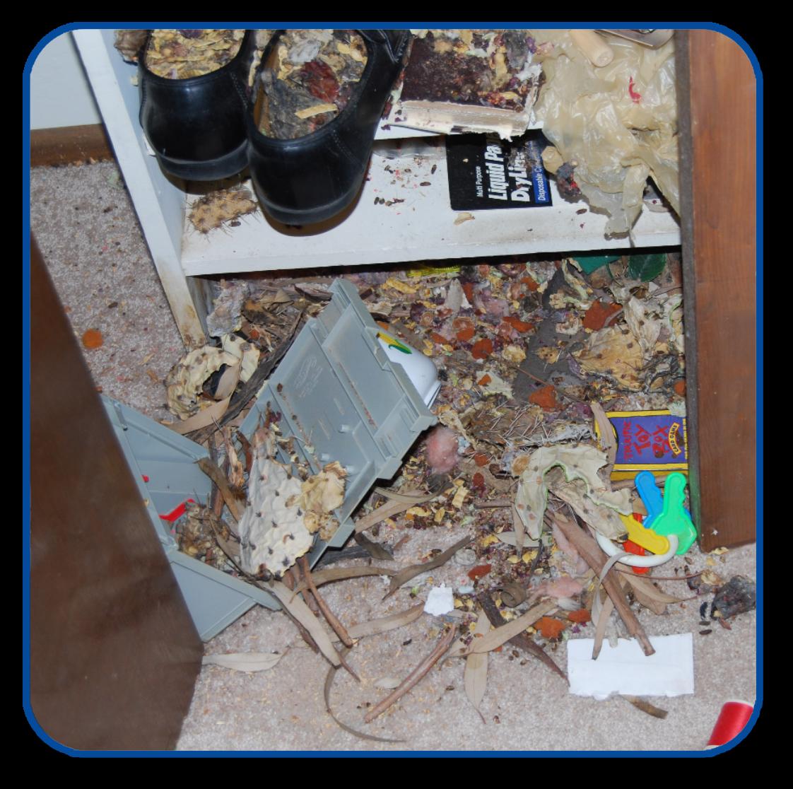 Pack rat mess found inside a closet Pest control, Pests