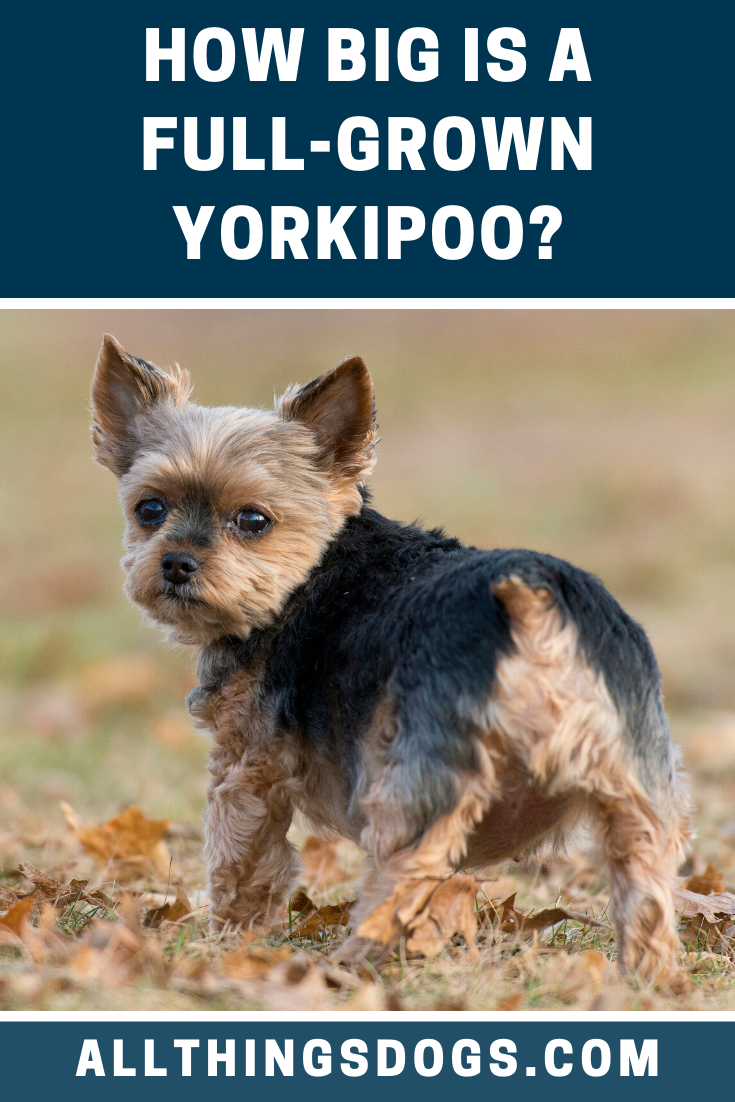 Although Not Officially Classified As A Small Dog Breed Since They