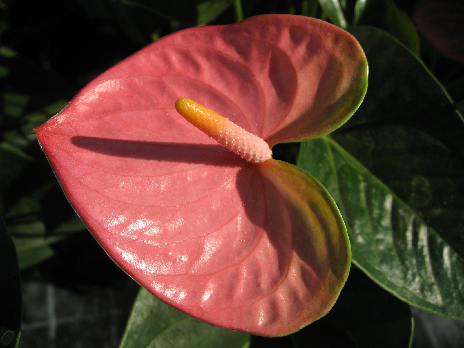 Anthurium Rose Derived From Greek Anthos That Means Flower