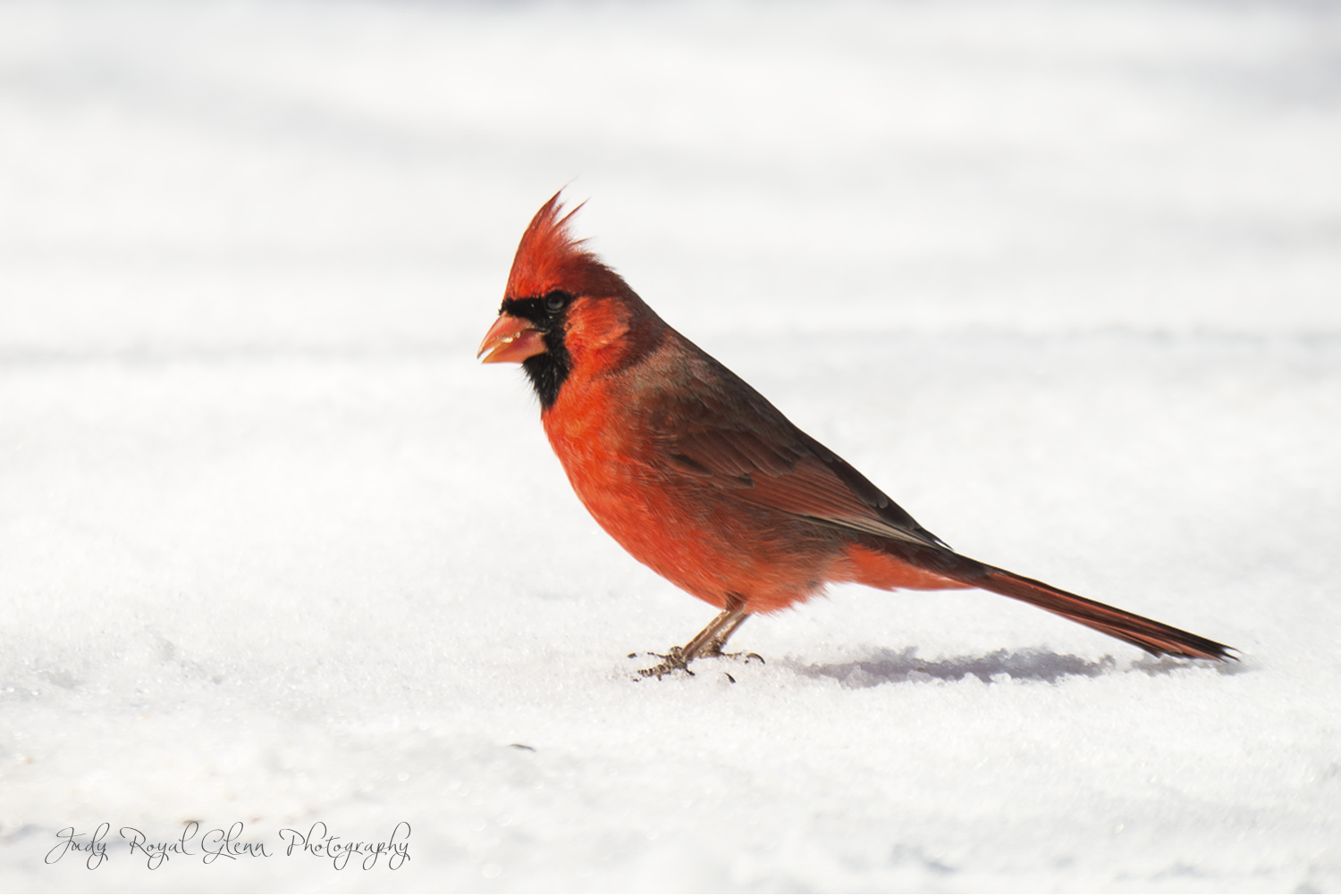 A touch of red for Valentine's Day! A photograph of a Cardinal in the snow in Athens, Georgia.  Story here:http://seeingthroughgodseyesphotos.blogspot.com/2014/02/a-watchful-eye.html