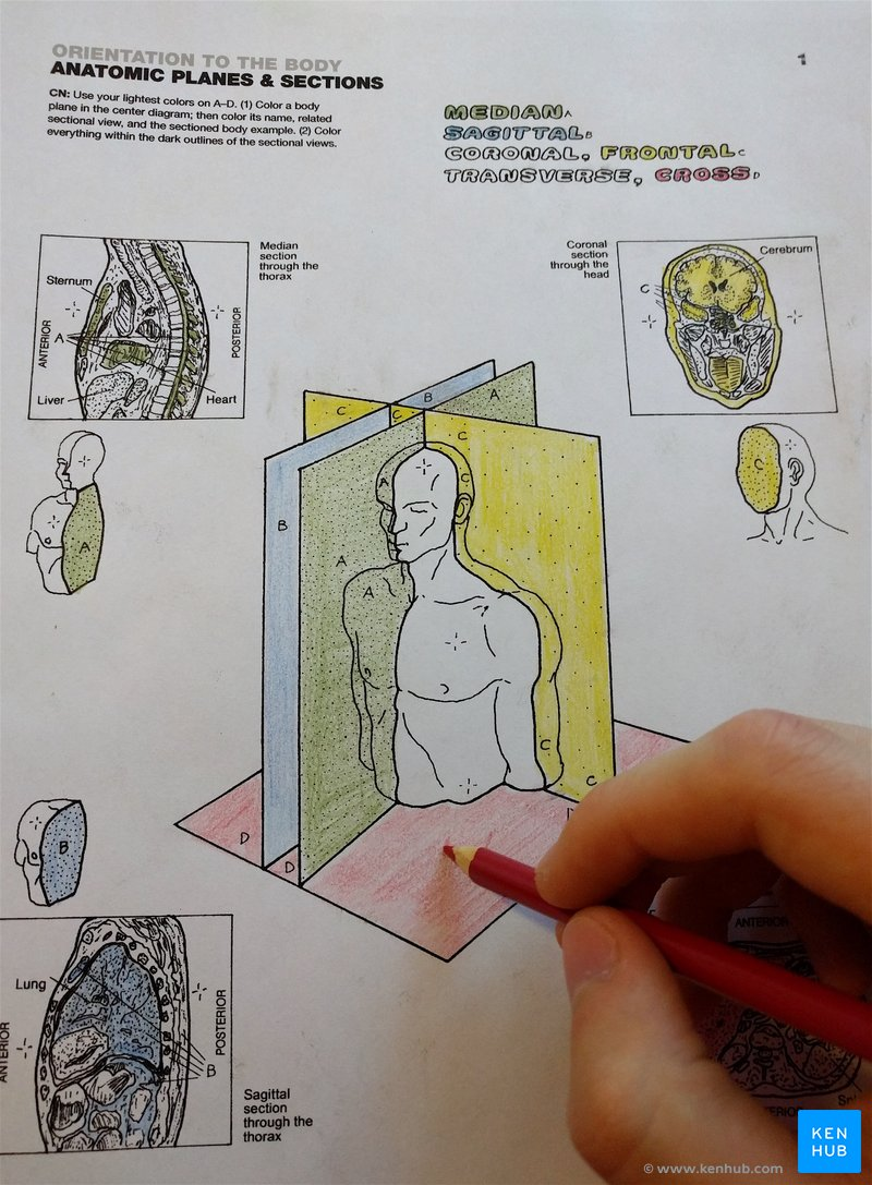 Anatomical Coloring Book How To Learn Anatomy With Kenhub Splendi Hisdstudentcongress Anatomy Coloring Book Coloring Books Coloring Book Art