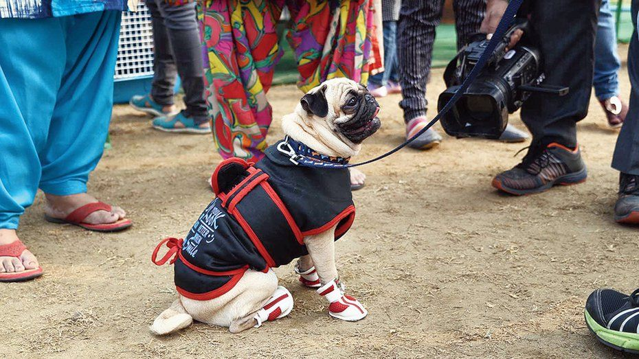A Pug Dressed For The Winters At A Dog Show In Salt Lake Toy