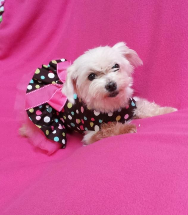 Adopt Lillybet Adopted On I Would Adopt Them All Maltese Dogs