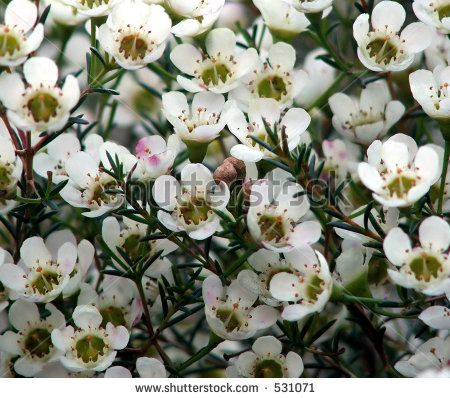 Wax flower is a filler flower and comes in white pink purple and wax flower is a filler flower and comes in white pink purple and yellow mightylinksfo Choice Image