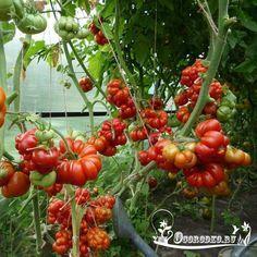 Сорта томата: детерминантные и индетерминантные - Огородко