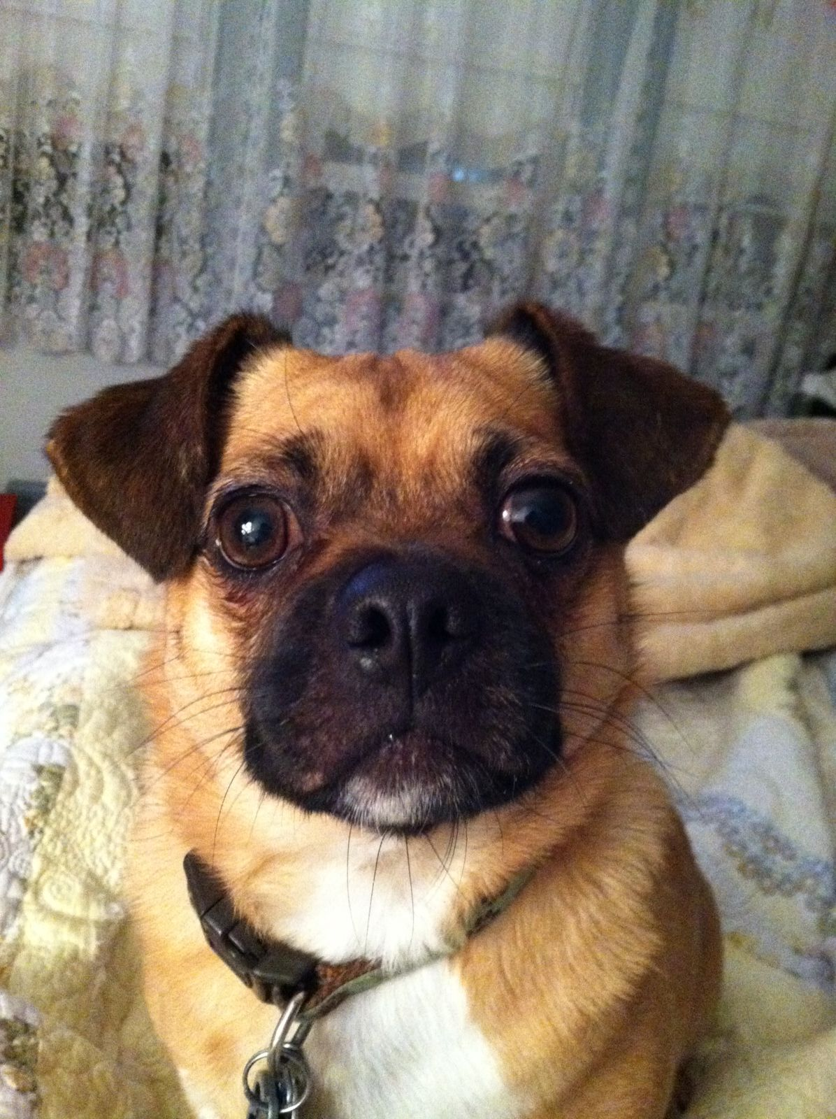 Crosby the Jug ( Jack Russell, pug mix) Dog pictures