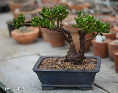 Crassula Ovata Gollum Jade Bonsai Bonsai Tree Care Bonsai
