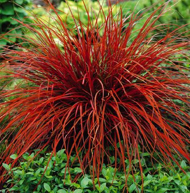 UNCINIA RUBRA a tufted, evergreen, perennial sedge to 30cm, with ...