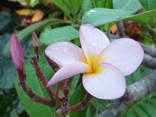 Fleur De Frangipanier A L Ile Maurice Flower Flowers