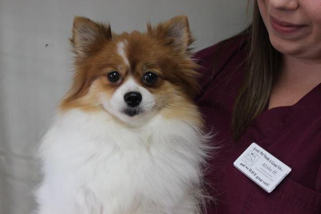 Adopt Paris On Pomeranian Dog Dogs Small Dogs