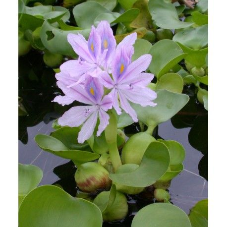 Eichhornia Crassipes Water Hyacinth Aquatic Plants Plants Flowers Perennials