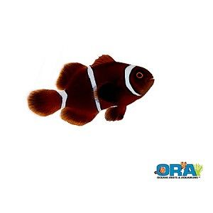 Ora Gold Stripe Maroon Aquacultured Saltwater Fish Clownfish Gold Stripes Saltwater Fish Tanks Aqua Culture