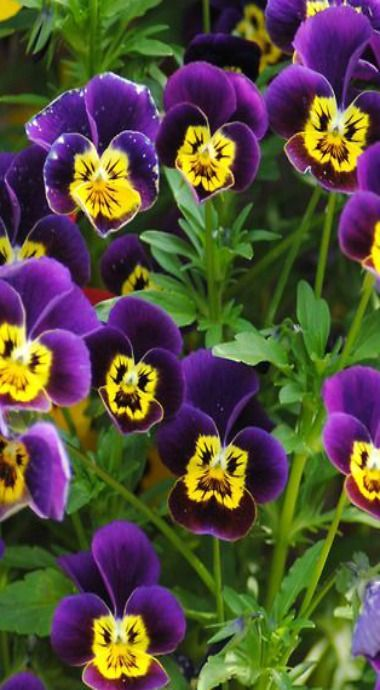 Pansy Fansy Cottage Pretty Flowers Pansies Beautiful Flowers