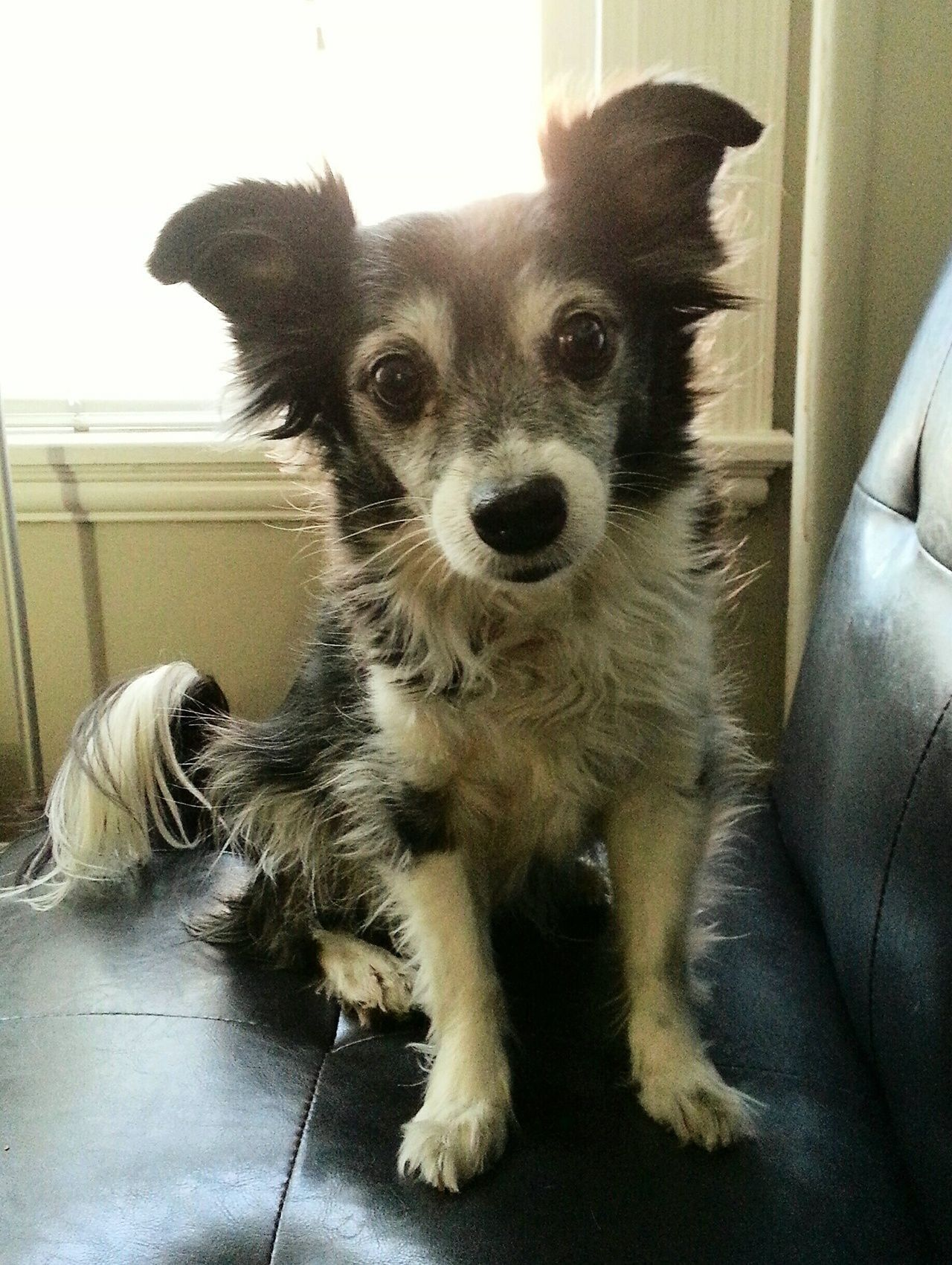 Pin by Katie Seale on Story Inspiration Chihuahua mix